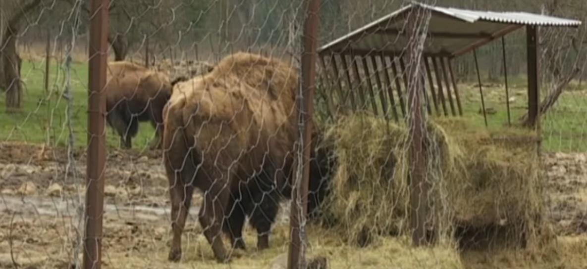 Бізони-нелегали: на Прикарпатті живуть десятки бізонів без документів